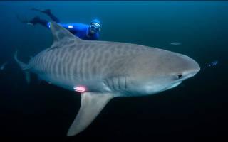 Тигровая акулаопасный морской мусорщик