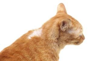 У кошки выпадает шерсть на шее