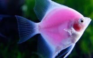 Скалярии меняют цвет