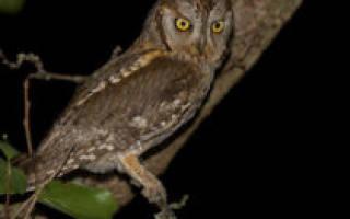 Сова сплюшка 🦉 Она же обыкновенная совка