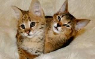 Подробное описание породы кошек каракет