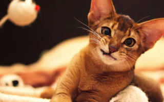 Как уживутся абисинская кошка и дети