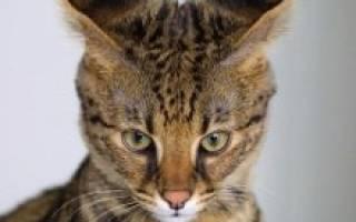 Кошка Саванна — помесь сервала и кошки
