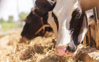 Гигиена коров гигиена доения