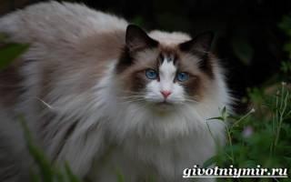 Правила ухода за кошкой породы рэгдолл
