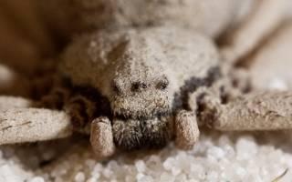 Африканский песчаный паук