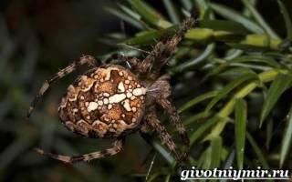 Особенности паука крестовика