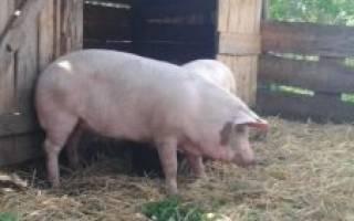 Кастрация свиней способы и показания