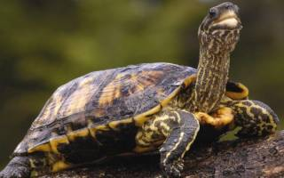 Уход за панцирем черепахи