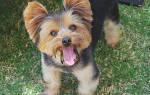 Как вывести блох у щенка 1 или 2 месяца?