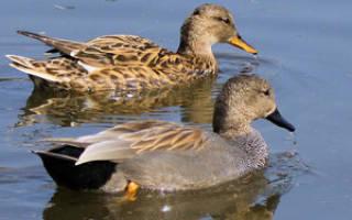 Дикая утка — виды, описание, содержание дома