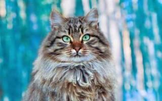 Сколько лет живут сибирские кошки