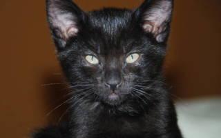 Как почистить котенку уши в домашних условиях