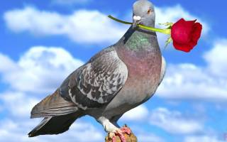 Голубь птица, фото, характеристика, описание