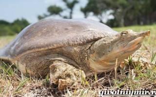 Китайский хищник мягкотелая черепаха трионикс