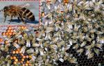 Серая горная кавказская порода пчел: фото
