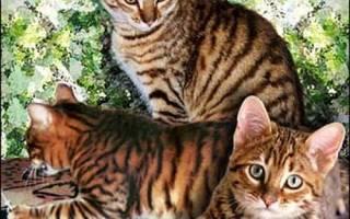 Уссурийская кошка полосатый эксклюзив