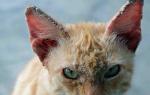 Что делать если у кота на ушах болячки