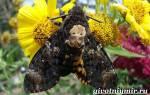 Бабочка мертвая голова описание