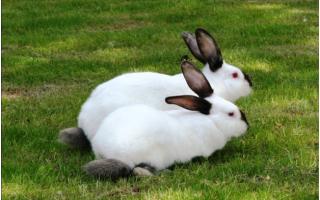 Лучшие породы кроликов для разведения