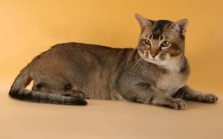 Азиатская короткошерстная кошка.
