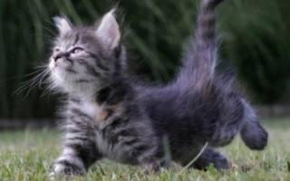Облысение хвоста у кошек