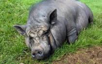 Почему супоросная свинья не ест