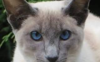 Балинез балийская кошка
