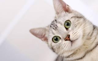 Можно ли чистить уши коту