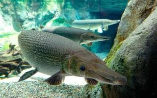 Где обитает самая крупная пресноводная рыба
