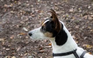 Болезни ушей у собак: симптомы и лечение