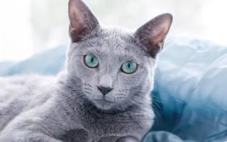 Облысение ушей у кошек
