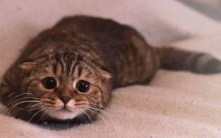 Опухоль молочной железы у кошки