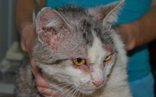Как выявить и лечить дерматит у кошек