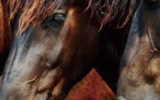 Как выглядит каурая лошадь