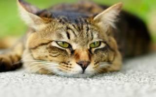 Что делать и чем лечить понос у кошки