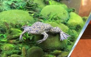 Шпорцевая лягушка содержание