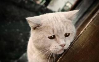 Клещи у кошек ушные иксодовые подкожные