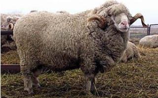 Овцы с белой шерстью особенности содержания