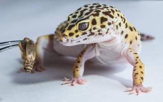 Чем кормить геккона позаботьтесь о живой пище
