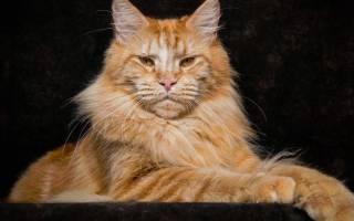 Кошки длинношрстной породы