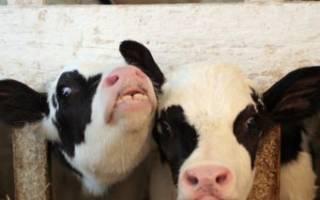 Кормление телят ЗЦМ и другие молочные корма