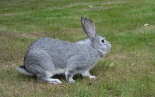 Вес кролика какие кролики быстрее набирают вес