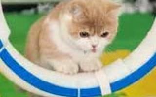 Аджилити для кошек спорт для активных питомцев