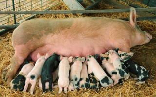 Домашнее свиноводство для начинающих
