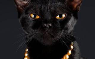 Бомбейская кошка история описание характер