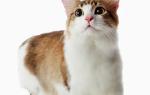 Манчкин короткошерстный уход за кошкой