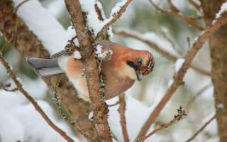 Что делает дятел зимой