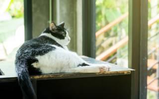 Дисплазия ТБС у кошки