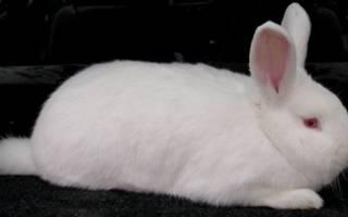 Содержание кроликов мясных пород особенности
